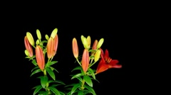 Lily Timelapse Arkistovideo
