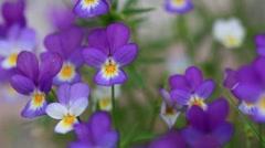 Viola tricolor - stock footage