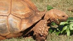 Galapagos giant tortoise Stock Footage