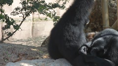 Couple of Siamang - stock footage