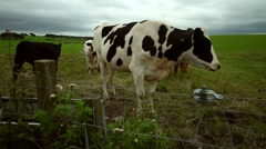 Cows in field, Scotland - stock footage