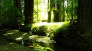Redwoods Forest 01 Sunlight HD720 Stock Footage
