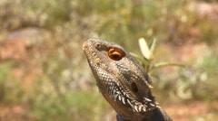 Bearded Dragon Close Stock Footage