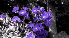 Changing Colorful Flowers Stock Footage