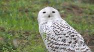 The white owl Stock Footage