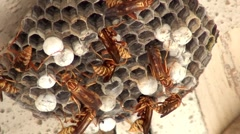 Wasp Nest Sprayed (1080P) Stock Footage