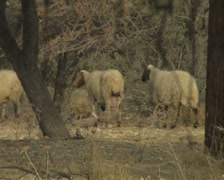 Sheep walking among the trees - stock footage