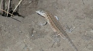 Lizard Darting Into Hole Stock Footage