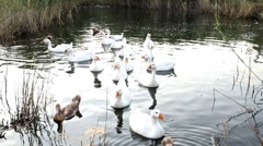 Geese in pond Full HD Stock Footage