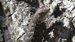 Lizard On Tree With Ants On Bark In Background - stock footage