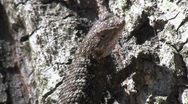 Lizard On Tree With Ants On Bark In Background Stock Footage