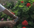 Hotel gardener prunes a bush cutting flowers Footage