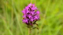 Pyramidal Orchid, Anacamptis pyramidalis Stock Footage