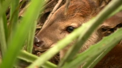 Baby deer at rest Stock Footage