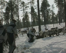 Putting food out for the reindeer Stock Footage