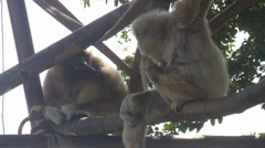 White-handed Gibbons Japan and Emma Stock Footage