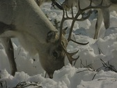 Stock Video Footage of Close up of a reindeer grazing in the snow