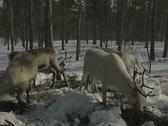 Reindeers graze on a snowy forest floor Stock Footage