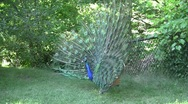 Stock Video Footage of Blue Peacock Flutters Open Feathers