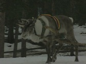 Stock Video Footage of Zoom out from a reindeer to reveal a sleigh