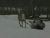 A reindeer pulls a man on a sleigh through the forest Stock Footage