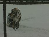 Reindeer pulling a sleigh Stock Footage