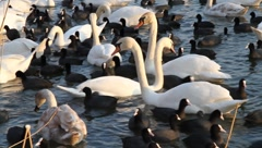 Swans and coots (2/5) Stock Footage