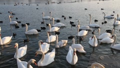 Swans and coots (4/5) Stock Footage