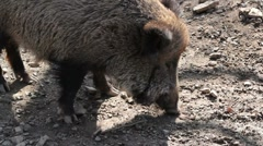 Wild boar Stock Footage