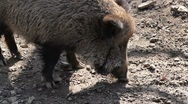 Stock Video Footage of wild boar
