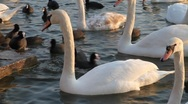 Stock Video Footage of Swans and coots (3/5)