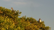Stock Video Footage of Puerto Rico-Pelicans on top of mangrove tree