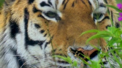 Sibirian tiger Stock Footage