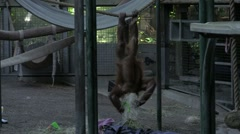 Orangutan Antics Stock Footage