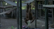 Stock Video Footage of Orangutan Antics