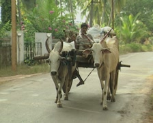 Goa / Cochin Two ox pull a cart down the street Stock Footage
