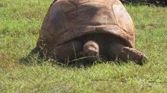 Galapagos turtle Stock Footage