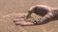Stock Video Footage of farmer takes in hands grain  2