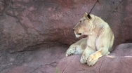 Lion Turns to Look Stock Footage