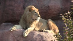 Male Lion Sitting on Rock Stock Footage