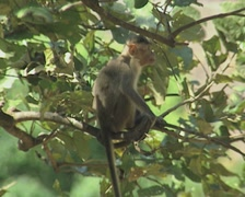 Stock Video Footage of Goa / Cochin Monkey sitting in a tree zoom out
