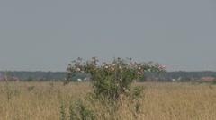 Beautiful wild rose Stock Footage