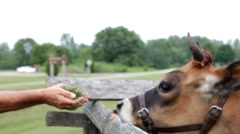 Person holding grass for cow dolly shot Stock Footage