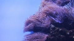 Percula Clownfish Stock Footage