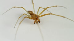 Linyphia triangularis spider Stock Footage