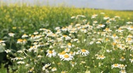 Stock Video Footage of Medical daisies panning - camomile flowers in the breeze