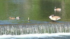 Geese and a Weir Stock Footage