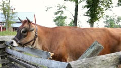 Cow next to fence dolly shot Stock Footage