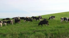 Holstein Freisian Cows Stock Footage