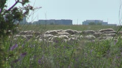 A big flock of sheep Stock Footage
